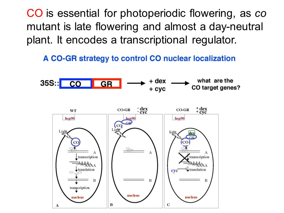CO is essential for photoperiodic flowering, as co mutant is late flowering and almost a day-neutral plant. It encodes a transcriptional regulator.
