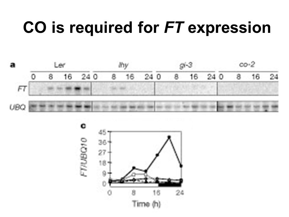 CO is required for FT expression