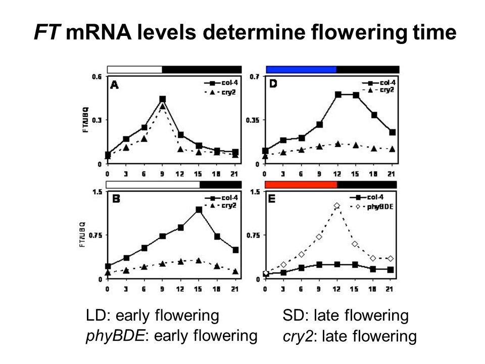 FT mRNA levels determine flowering time SD: late floweringLD: early flowering phyBDE: early flowering cry2: late flowering