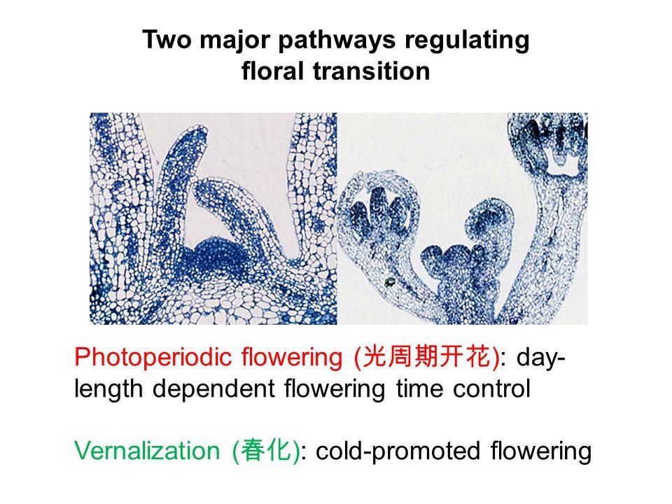 LFY A, B, C, E class genes (春化) Is co the PRR that measures daylength?