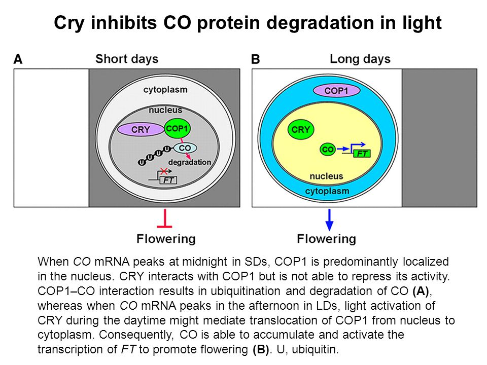 When CO mRNA peaks at midnight in SDs, COP1 is predominantly localized in the nucleus. CRY interacts with COP1 but is not able to repress its activity