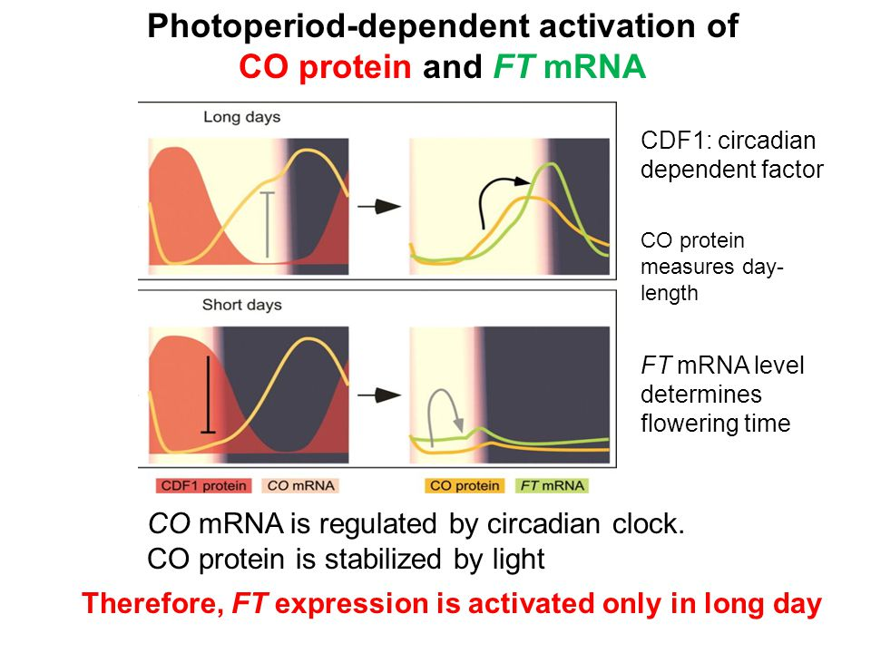 Photoperiod-dependent activation of CO protein and FT mRNA CO mRNA is regulated by circadian clock. CO protein is stabilized by light CDF1: circadian