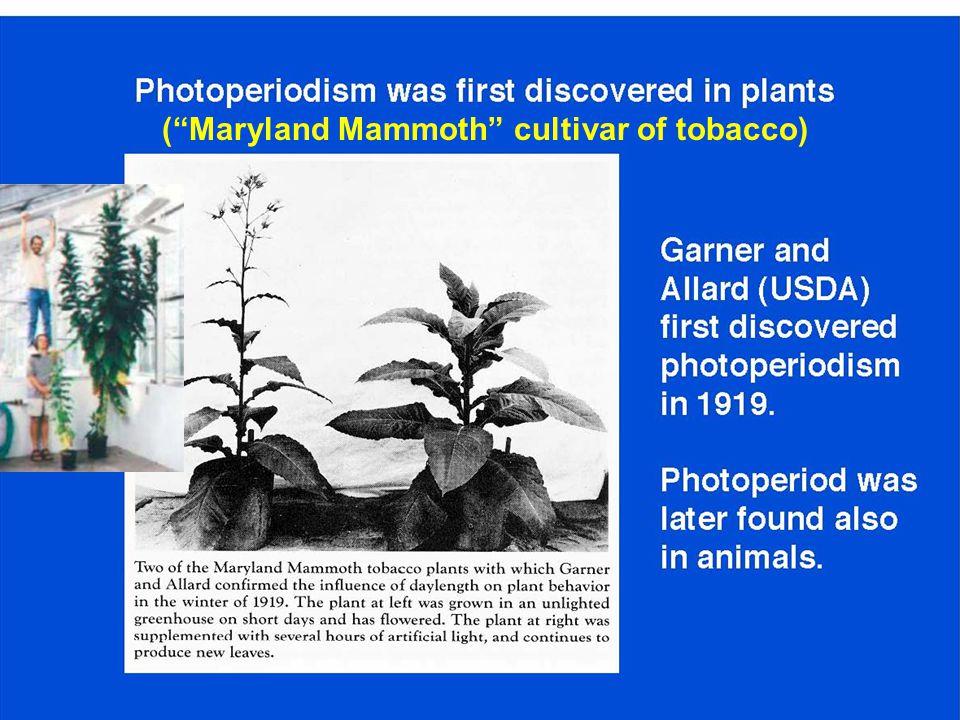 """(""""Maryland Mammoth"""" cultivar of tobacco)"""