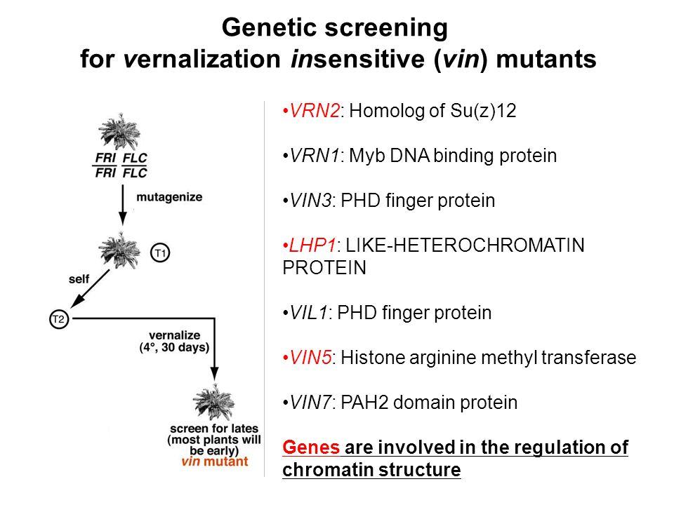 VRN2: Homolog of Su(z)12 VRN1: Myb DNA binding protein VIN3: PHD finger protein LHP1: LIKE-HETEROCHROMATIN PROTEIN VIL1: PHD finger protein VIN5: Hist