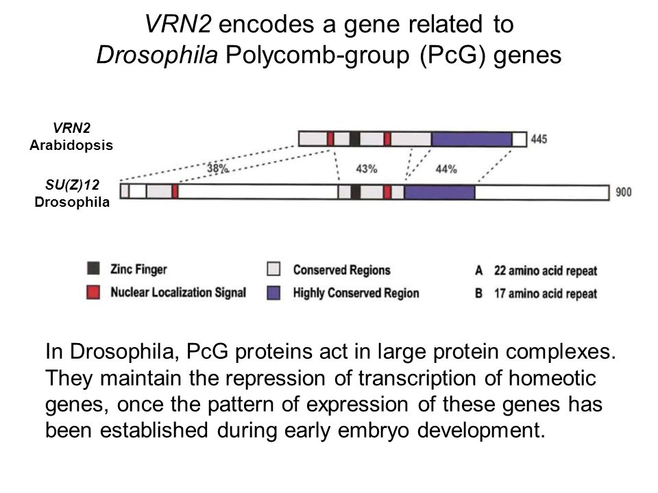 VRN2 encodes a gene related to Drosophila Polycomb-group (PcG) genes In Drosophila, PcG proteins act in large protein complexes. They maintain the rep