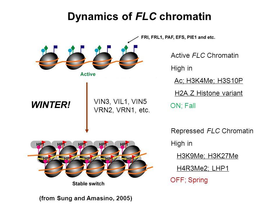 Dynamics of FLC chromatin Active FLC Chromatin High in Ac; H3K4Me; H3S10P H2A.Z Histone variant Repressed FLC Chromatin High in H3K9Me; H3K27Me H4R3Me