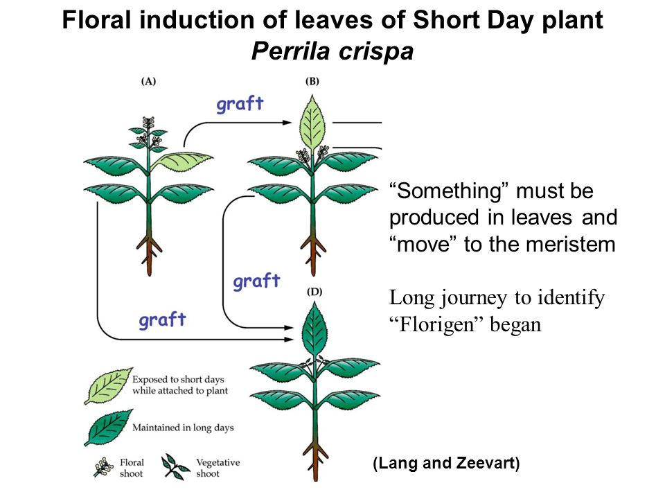 """Floral induction of leaves of Short Day plant Perrila crispa """"Something"""" must be produced in leaves and """"move"""" to the meristem Long journey to identif"""