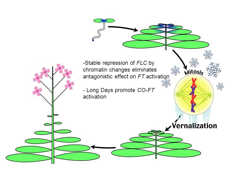 -Stable repression of FLC by chromatin changes eliminates antagonistic effect on FT activation - Long Days promote CO-FT activation