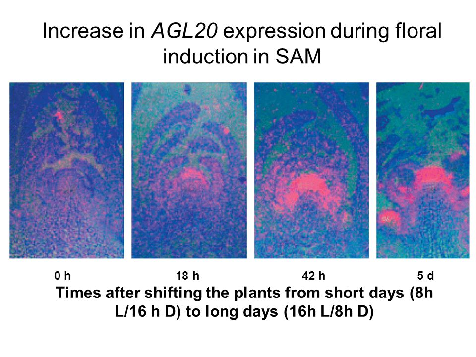 Increase in AGL20 expression during floral induction in SAM 0 h 18 h 42 h 5 d Times after shifting the plants from short days (8h L/16 h D) to long da