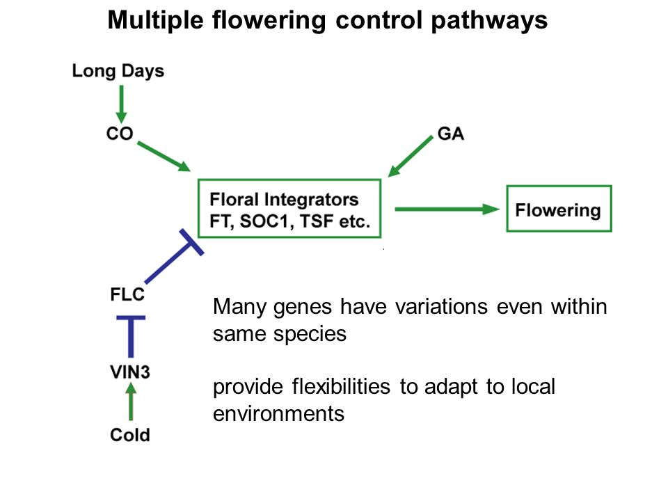 Multiple flowering control pathways Many genes have variations even within same species provide flexibilities to adapt to local environments