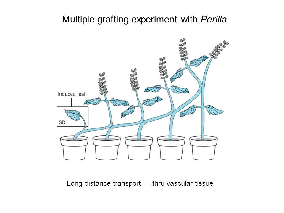 Molecular basis of vernalization response FLC is a potent repressor of flowering.