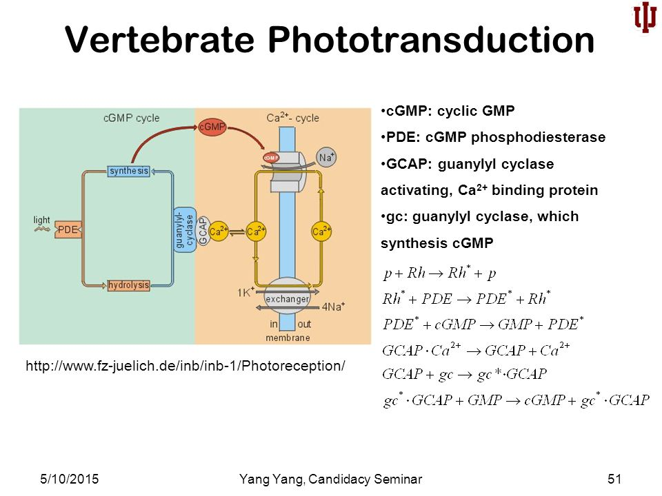 Vertebrate Phototransduction 5/10/2015Yang Yang, Candidacy Seminar51 http://www.fz-juelich.de/inb/inb-1/Photoreception/ cGMP: cyclic GMP PDE: cGMP phosphodiesterase GCAP: guanylyl cyclase activating, Ca 2+ binding protein gc: guanylyl cyclase, which synthesis cGMP
