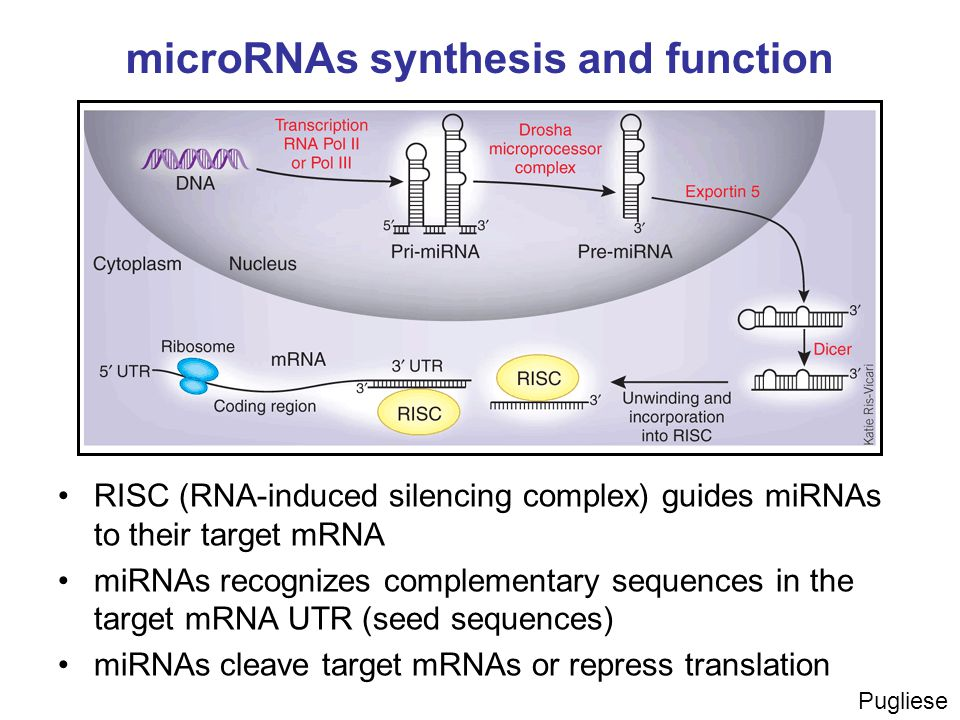 microRNAs synthesis and function RISC (RNA-induced silencing complex) guides miRNAs to their target mRNA miRNAs recognizes complementary sequences in the target mRNA UTR (seed sequences) miRNAs cleave target mRNAs or repress translation Pugliese