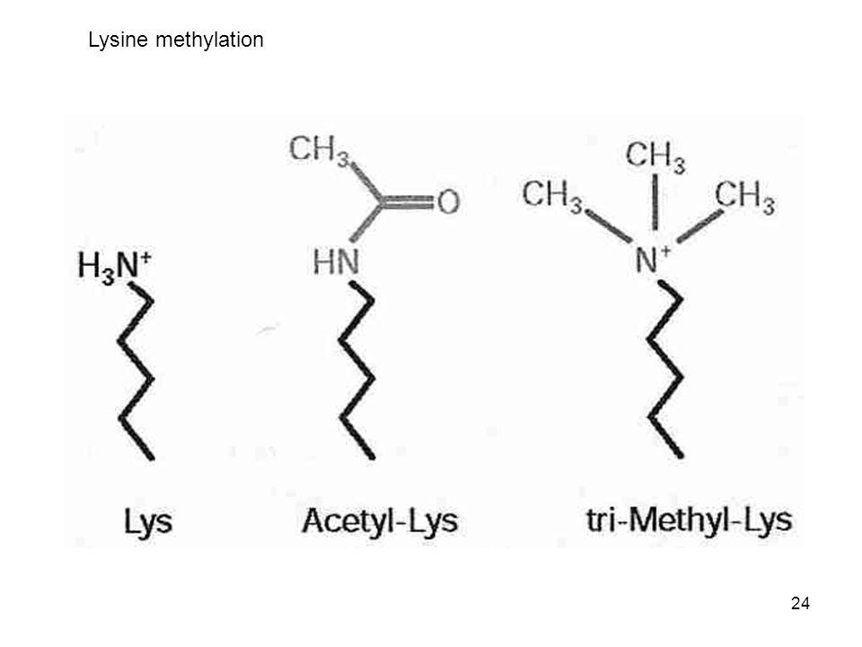 24 Lysine methylation