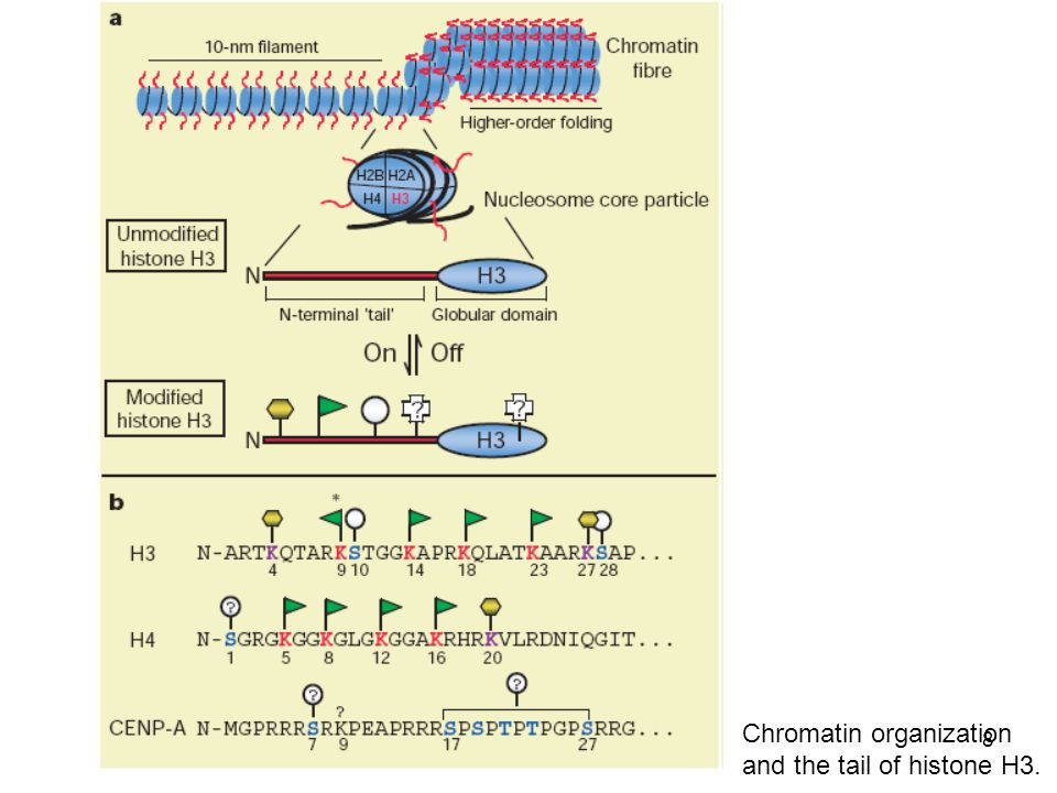 8 Chromatin organization and the tail of histone H3.