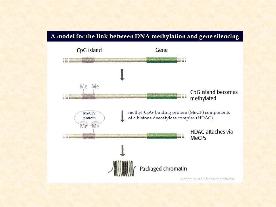A model for the link between DNA methylation and gene silencing Genomes, 3rd Edition (modificēts) MeCP2 protein methyl-CpG-binding protein (MeCP) components of a histone deacetylase complex (HDAC)