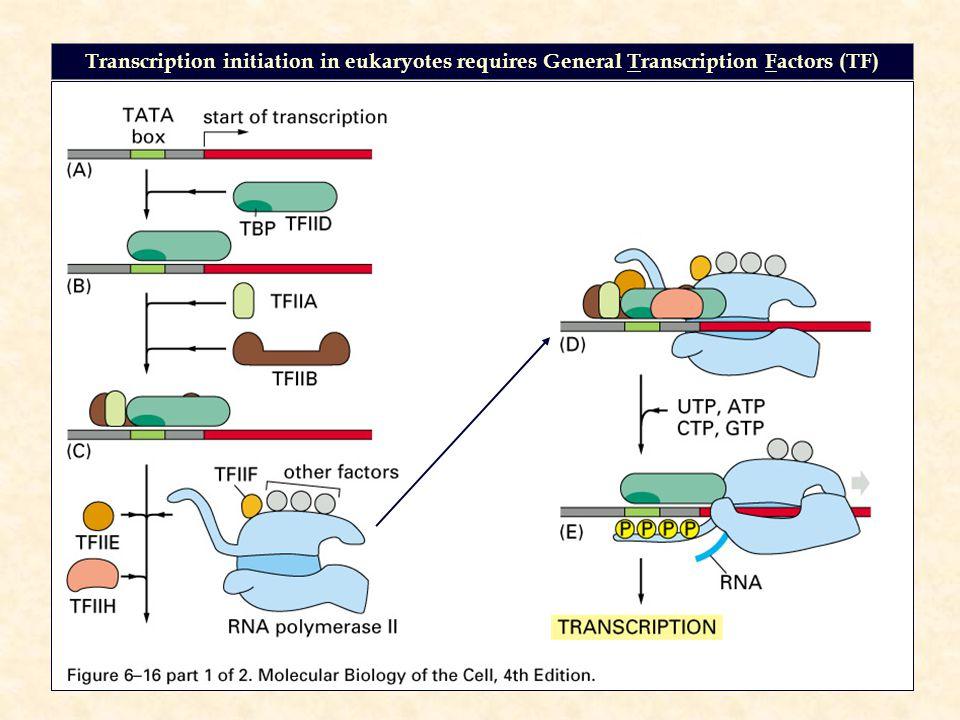 Transcription initiation in eukaryotes requires General Transcription Factors (TF)