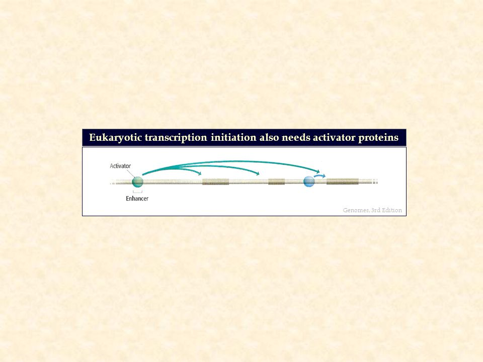 Eukaryotic transcription initiation also needs activator proteins Genomes, 3rd Edition