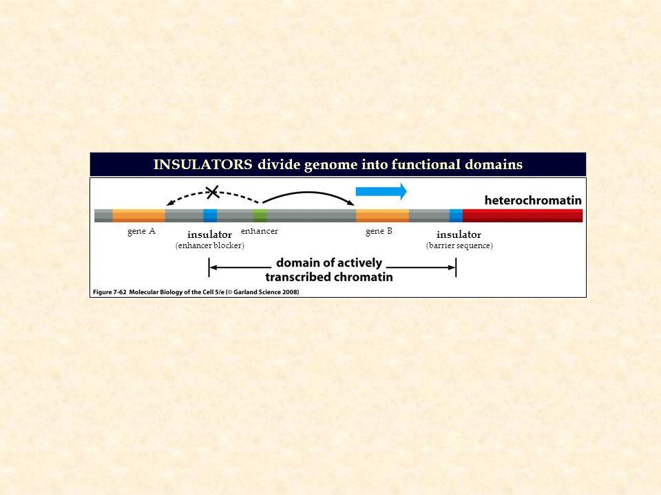 INSULATORS divide genome into functional domains gene A enhancer gene B insulator (enhancer blocker) insulator (barrier sequence)