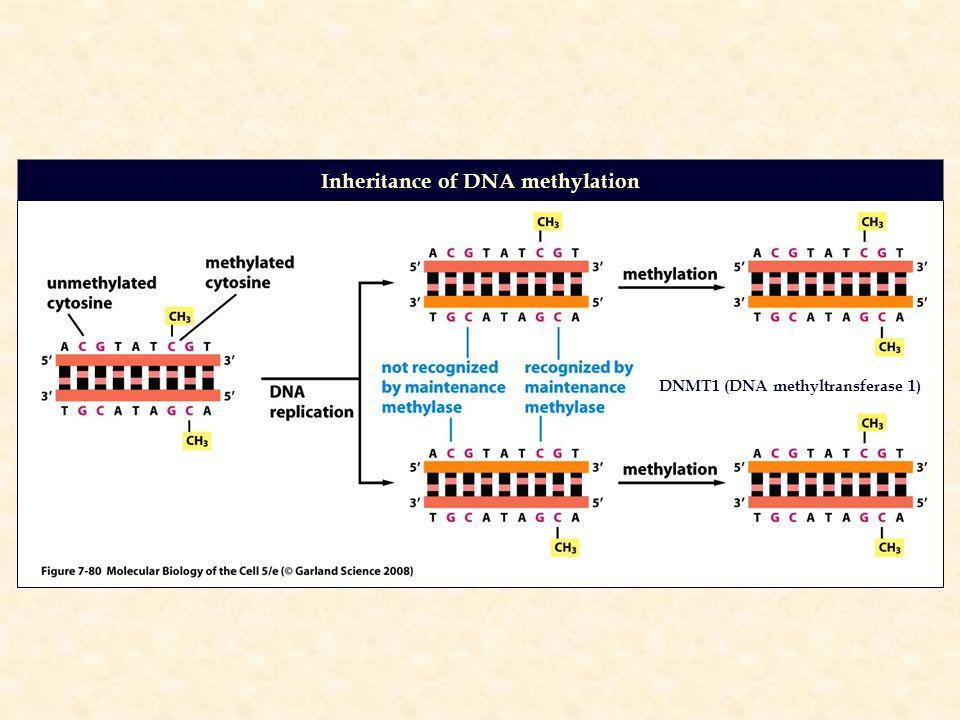 Inheritance of DNA methylation DNMT1 (DNA methyltransferase 1)