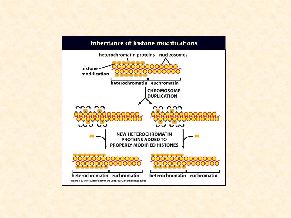Inheritance of histone modifications