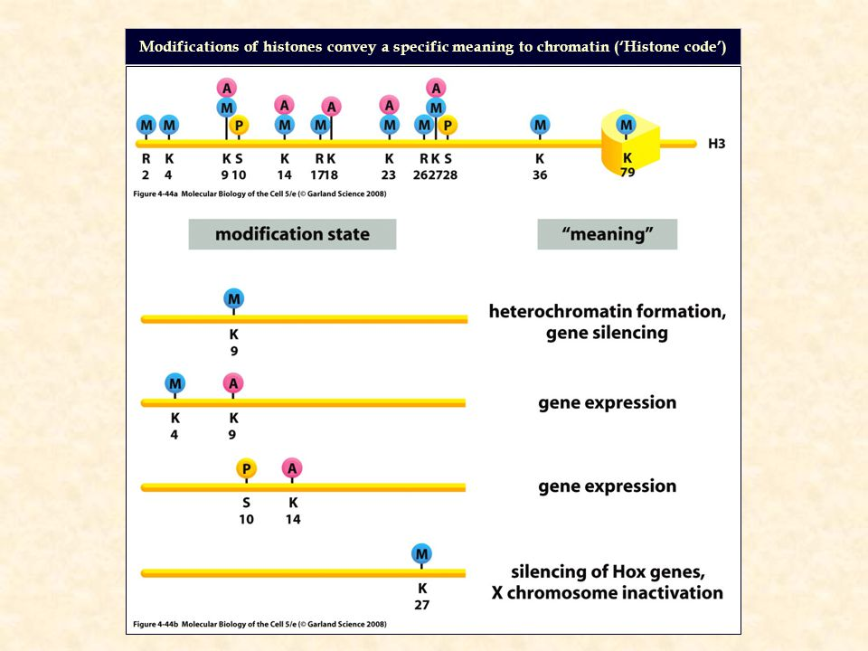 Modifications of histones convey a specific meaning to chromatin ('Histone code')