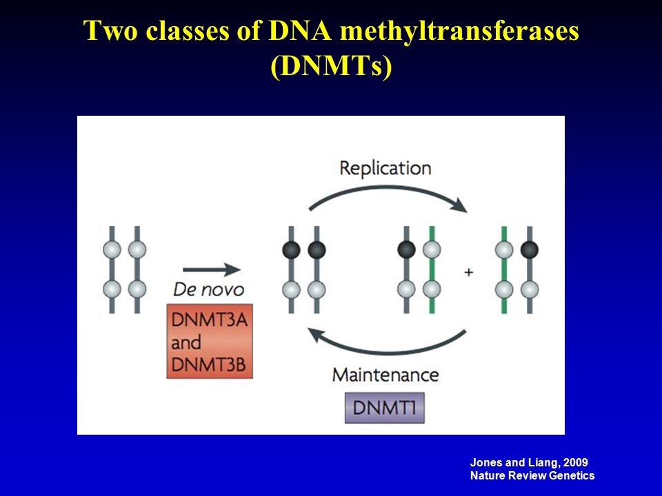 Two classes of DNA methyltransferases (DNMTs) Jones and Liang, 2009 Nature Review Genetics