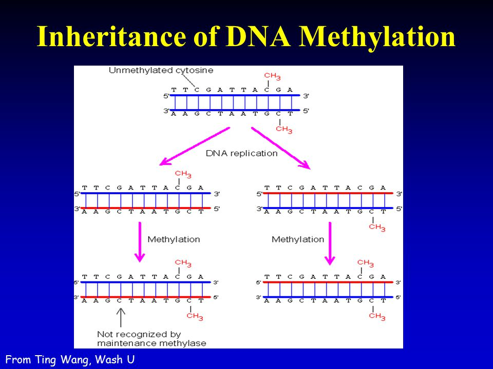 Inheritance of DNA Methylation From Ting Wang, Wash U