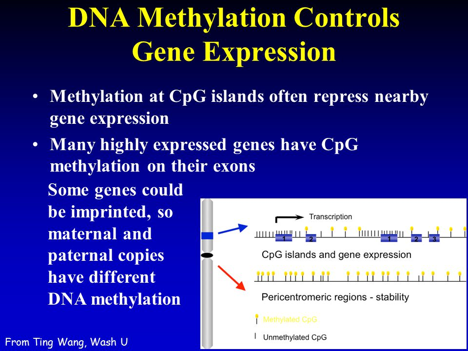 DNA Methylation Controls Gene Expression Methylation at CpG islands often repress nearby gene expression Many highly expressed genes have CpG methylation on their exons Some genes could be imprinted, so maternal and paternal copies have different DNA methylation From Ting Wang, Wash U