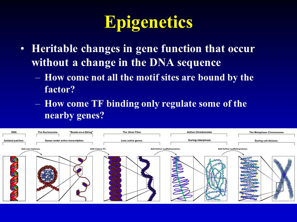Epigenetics Heritable changes in gene function that occur without a change in the DNA sequence –How come not all the motif sites are bound by the factor.