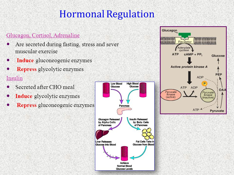 Hormonal Regulation Glucagon, Cortisol, Adrenaline Are secreted during fasting, stress and sever muscular exercise Induce gluconeogenic enzymes Repres