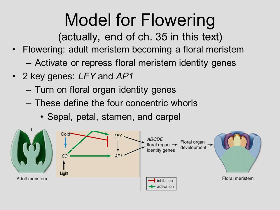 ABC Model 3 classes of floral organ identity genes specify 4 organ types 1.Class A genes alone – Sepals 2.Class A and B genes together – Petals 3.Class B and C genes together – Stamens 4.Class C genes alone – Carpels When any one class is missing, aberrant floral organs occur in predictable positions 8