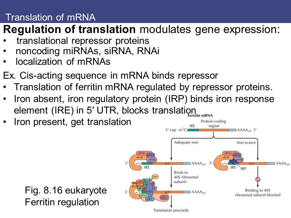 Translation of mRNA Fig. 8.16 eukaryote Ferritin regulation Regulation of translation modulates gene expression: translational repressor proteins nonc