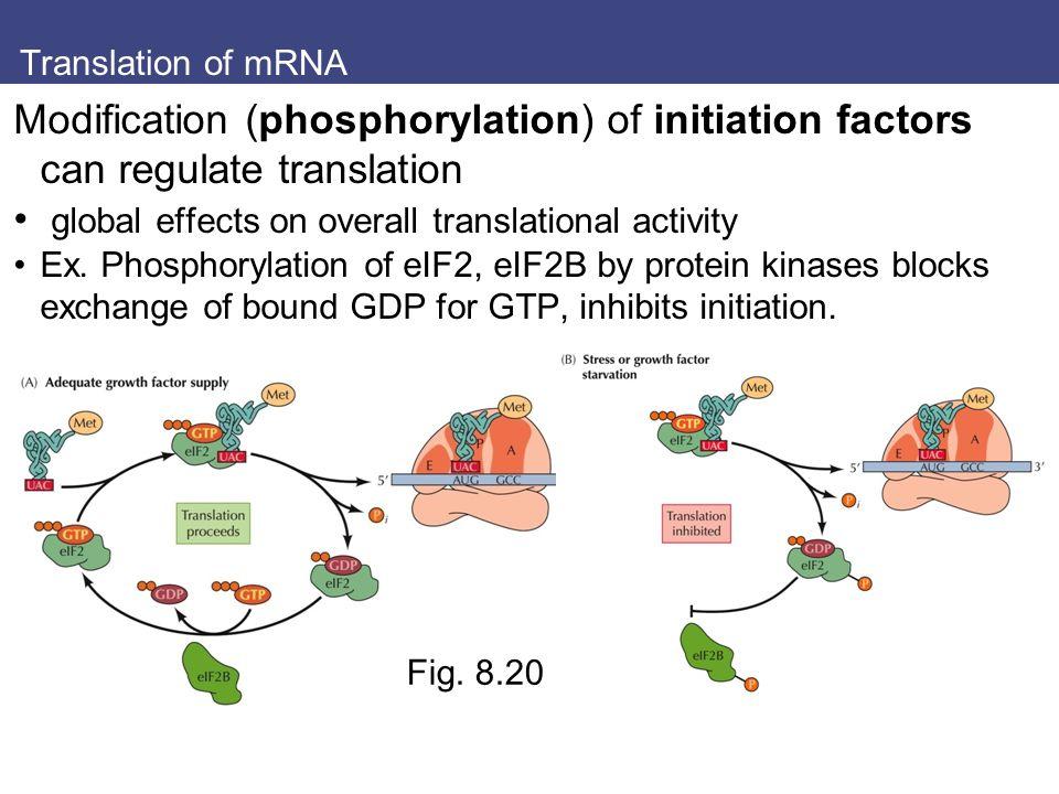 Translation of mRNA Modification (phosphorylation) of initiation factors can regulate translation global effects on overall translational activity Ex.