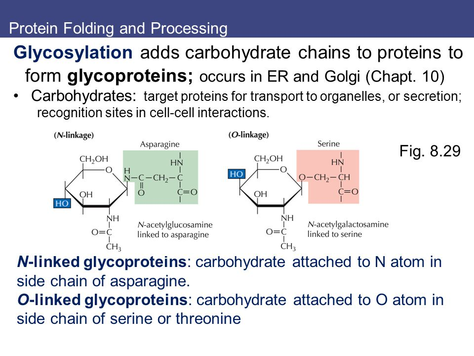 Protein Folding and Processing Glycosylation adds carbohydrate chains to proteins to form glycoproteins; occurs in ER and Golgi (Chapt. 10) Carbohydra