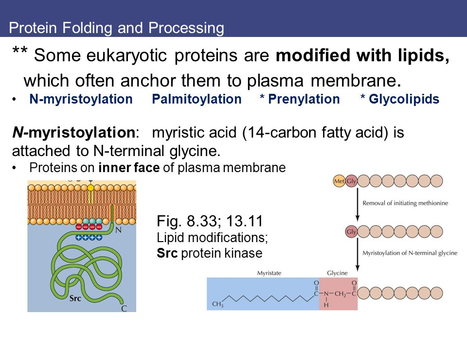 Protein Folding and Processing ** Some eukaryotic proteins are modified with lipids, which often anchor them to plasma membrane. N-myristoylationPalmi