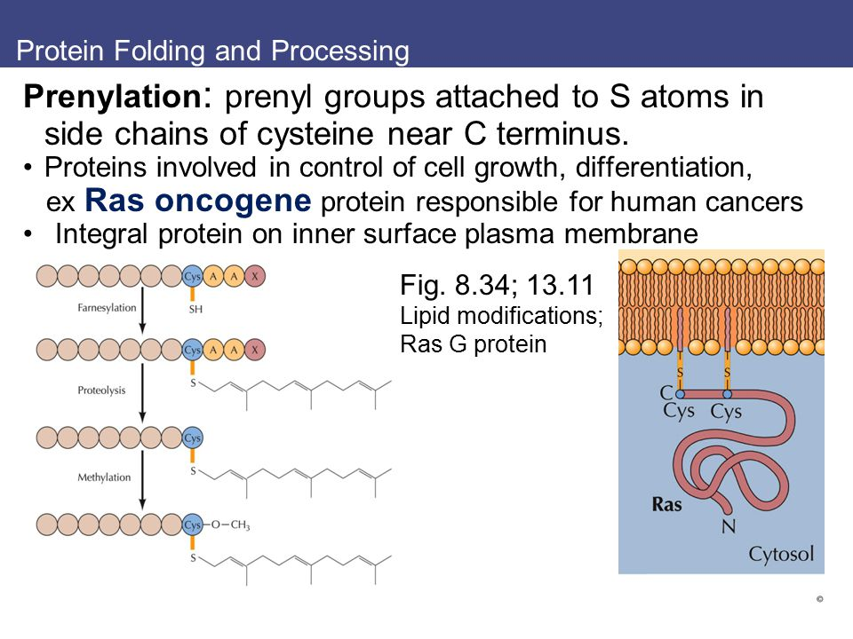 Protein Folding and Processing Prenylation : prenyl groups attached to S atoms in side chains of cysteine near C terminus. Proteins involved in contro