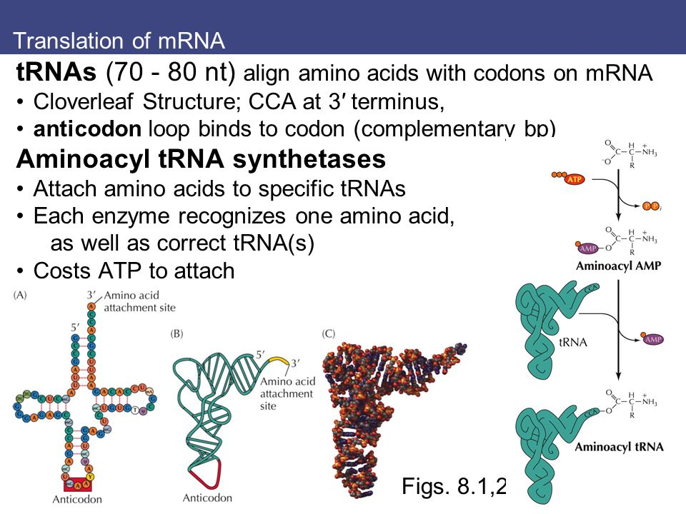 Translation of mRNA tRNAs (70 - 80 nt) align amino acids with codons on mRNA Cloverleaf Structure; CCA at 3′ terminus, anticodon loop binds to codon (