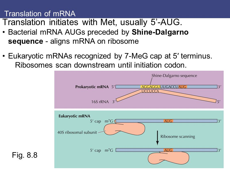 Translation of mRNA Translation initiates with Met, usually 5'-AUG. Bacterial mRNA AUGs preceded by Shine-Dalgarno sequence - aligns mRNA on ribosome