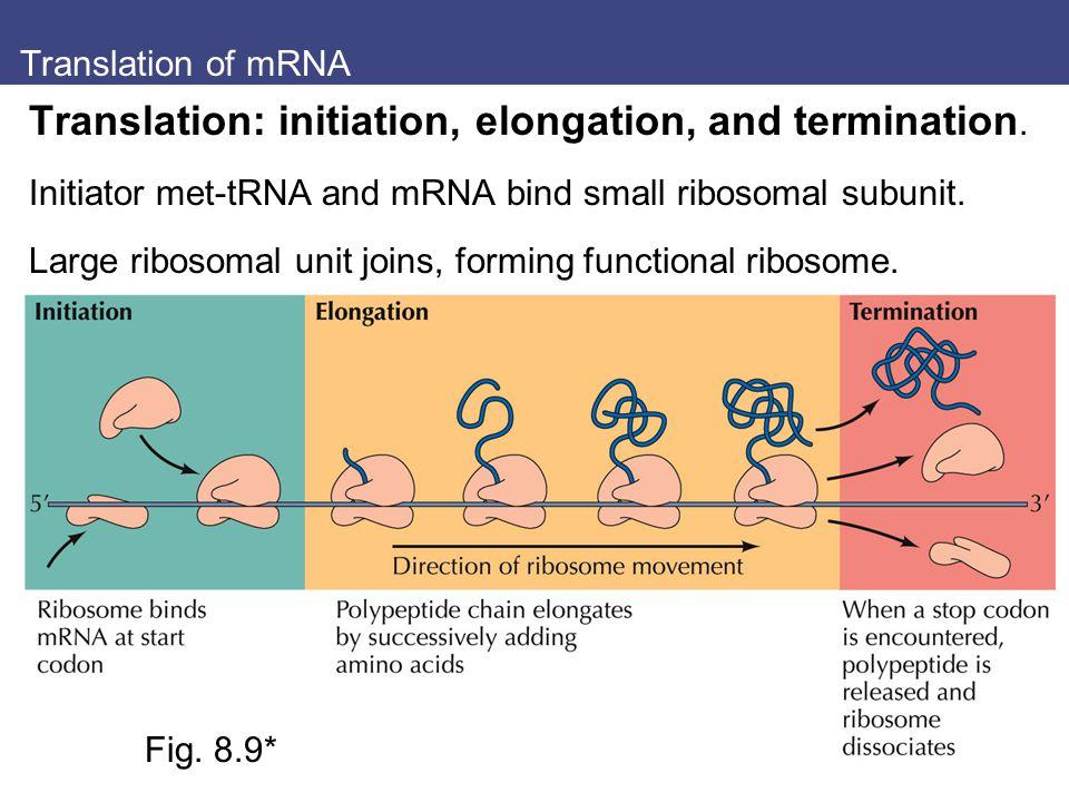 Translation of mRNA Translation: initiation, elongation, and termination. Initiator met-tRNA and mRNA bind small ribosomal subunit. Large ribosomal un