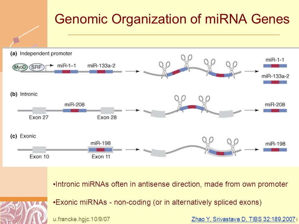 Doug Brutlag 2011 Genomic Organization of miRNA Genes Zhao Y, Srivastava D, TIBS 32:189,2007 Intronic miRNAs often in antisense direction, made from own promoter Exonic miRNAs - non-coding (or in alternatively spliced exons) u.francke.hgjc.10/9/07