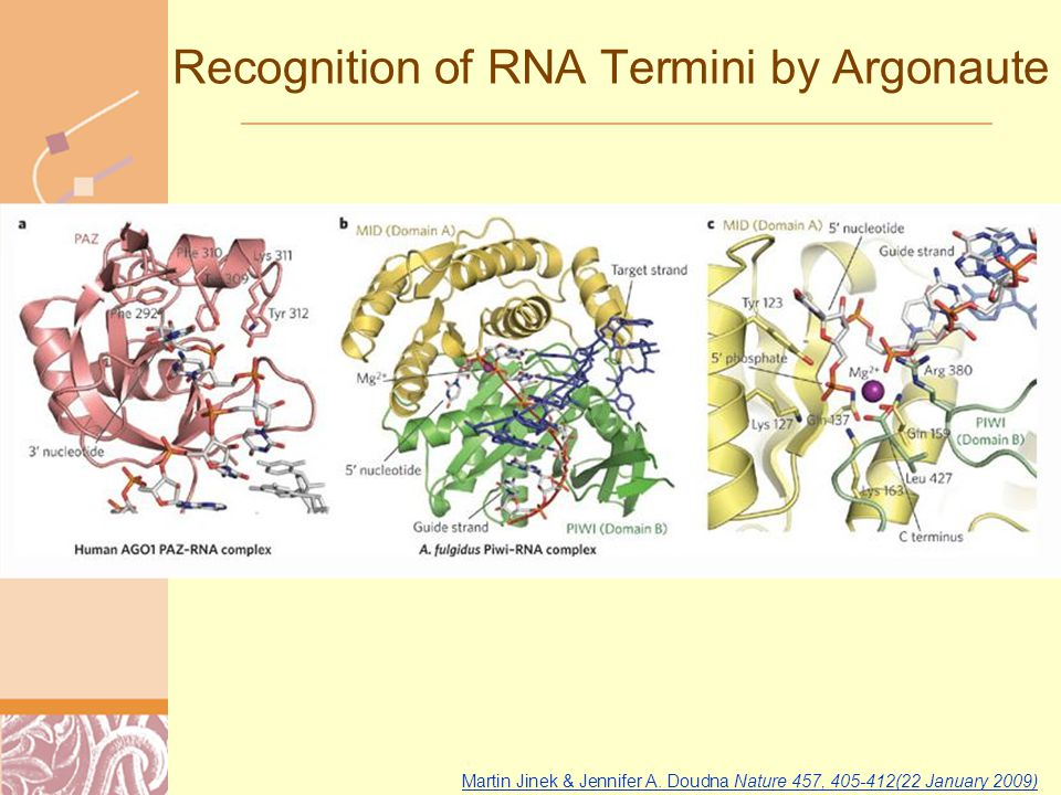 Doug Brutlag 2011 Recognition of RNA Termini by Argonaute Martin Jinek & Jennifer A.