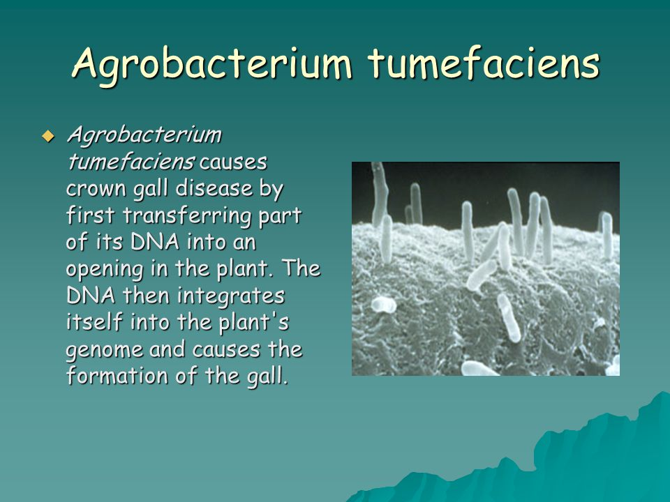 Agrobacterium tumefaciens  Agrobacterium tumefaciens causes crown gall disease by first transferring part of its DNA into an opening in the plant.