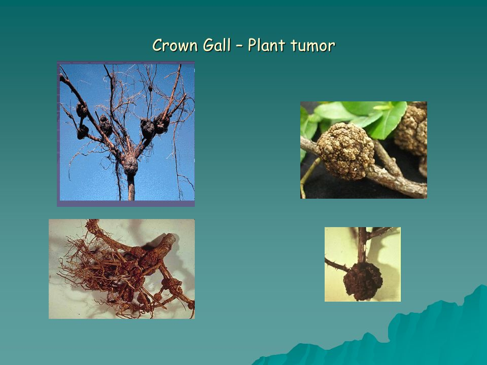 Crown Gall – Plant tumor