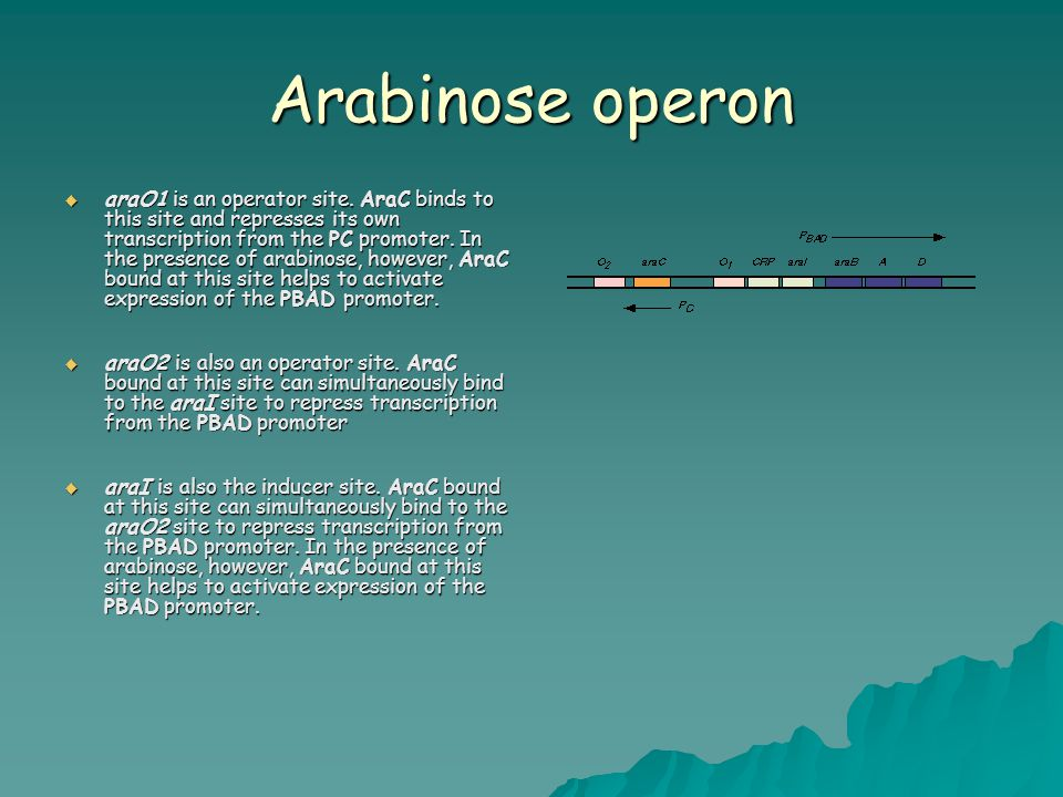 Arabinose operon  araO1 is an operator site. AraC binds to this site and represses its own transcription from the PC promoter. In the presence of ara
