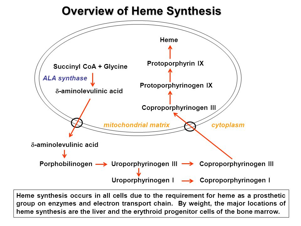 Uroporphyrinogen I Coproporphyrinogen I Overview of Heme Synthesis Heme synthesis occurs in all cells due to the requirement for heme as a prosthetic group on enzymes and electron transport chain.