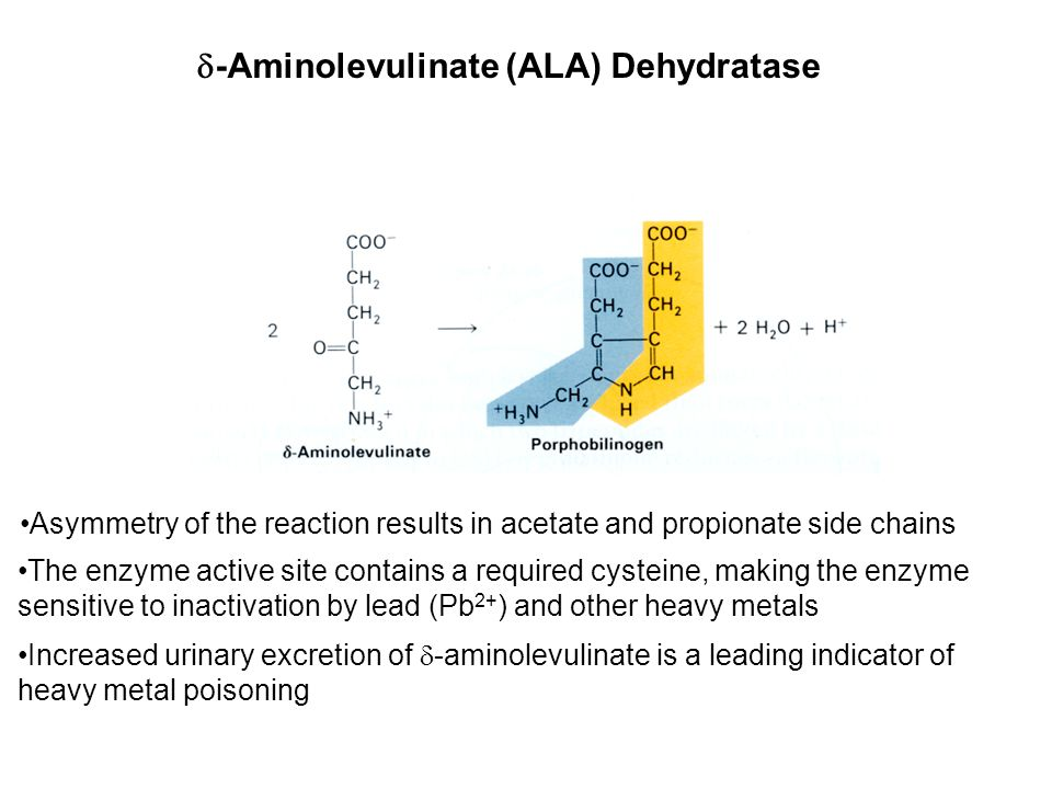  -Aminolevulinate (ALA) Dehydratase Asymmetry of the reaction results in acetate and propionate side chains The enzyme active site contains a required cysteine, making the enzyme sensitive to inactivation by lead (Pb 2+ ) and other heavy metals Increased urinary excretion of  -aminolevulinate is a leading indicator of heavy metal poisoning