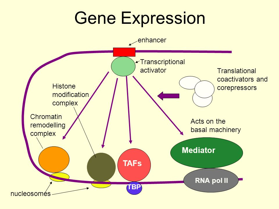 Gene Expression RNA pol II TAFs TBP nucleosomes enhancer Transcriptional activator Mediator Acts on the basal machinery Histone modification complex C