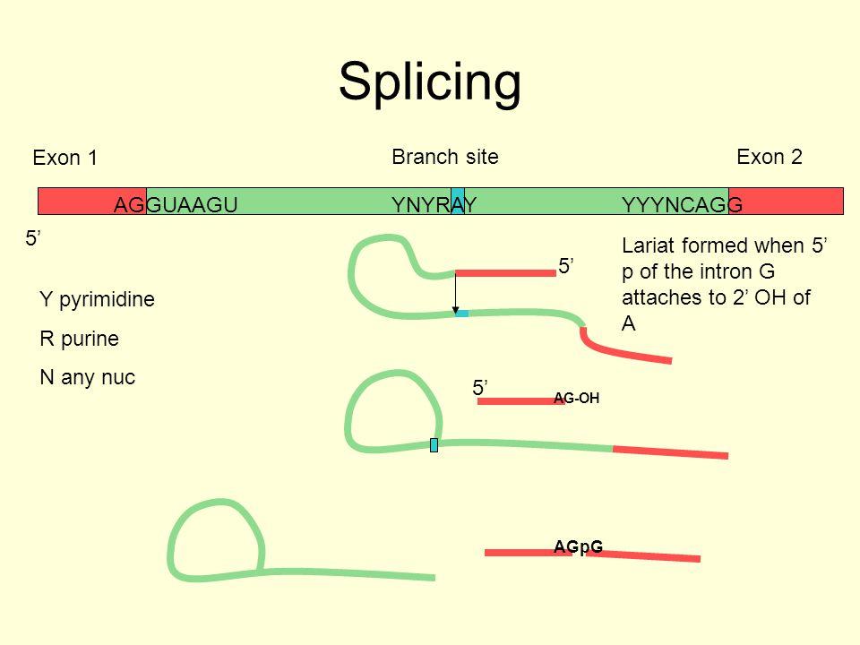 Splicing AGGUAAGUYNYRAYYYYNCAGG Branch site Exon 1 Exon 2 Y pyrimidine R purine N any nuc 5' AG-OH AGpG Lariat formed when 5' p of the intron G attach