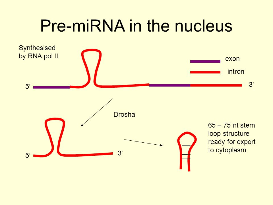 Pre-miRNA in the nucleus exon intron 5' 3' 5' 3' 65 – 75 nt stem loop structure ready for export to cytoplasm Synthesised by RNA pol II Drosha
